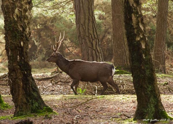 Sika Deer ARNE by mohikan22