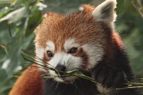 Bristol Zoo panda by Hogwind