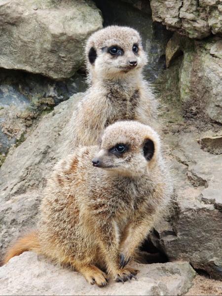 Meerkats by kathrynlouise