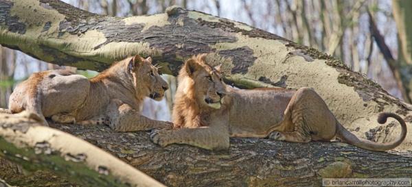 Lions on a tree, Lake Naivasha N.P. Kenya by brian17302