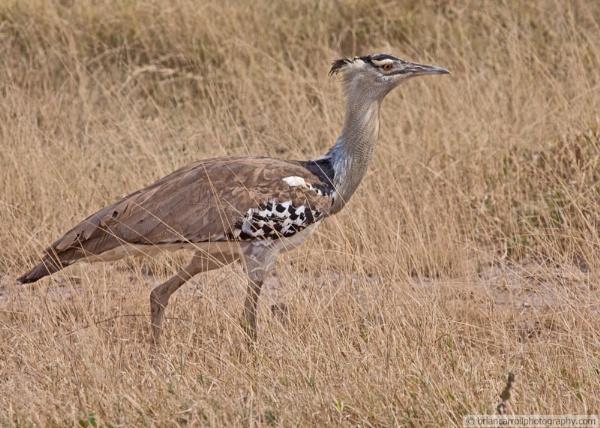 Kori Bustard (Ardeotis Kori ) in the Serengeti National Park, Tanzania by brian17302