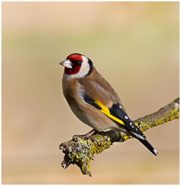 Goldfinch Gold Lichen by PhilSingleton