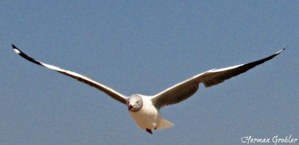 Gapwing Gull by Hermanus