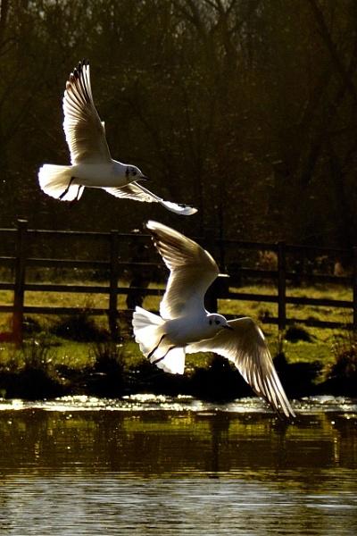 Hardwick Gulls by Mrsbass
