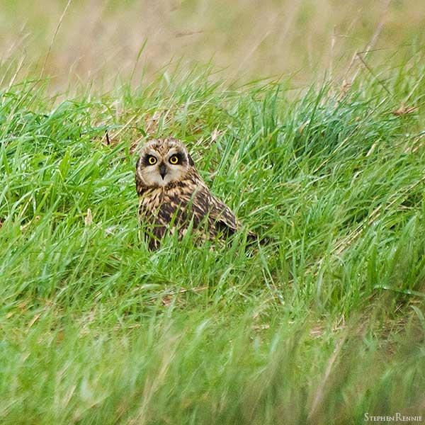 Short-eared owl by stepr17