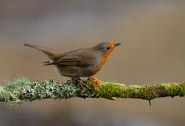agressive robin