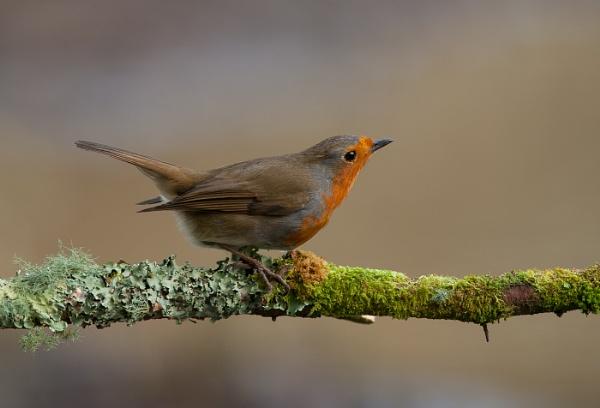 agressive robin by Ebythesea