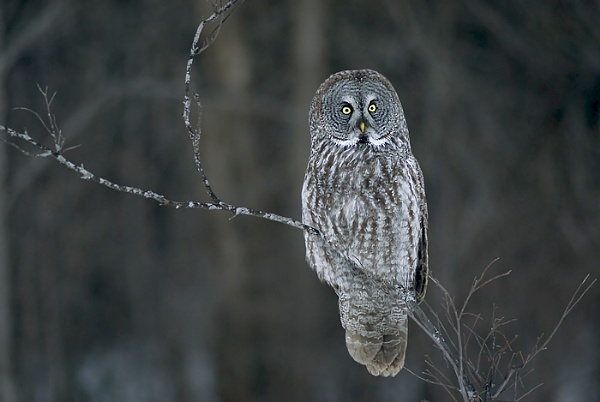 Great grey owl II... by jacques st-jean