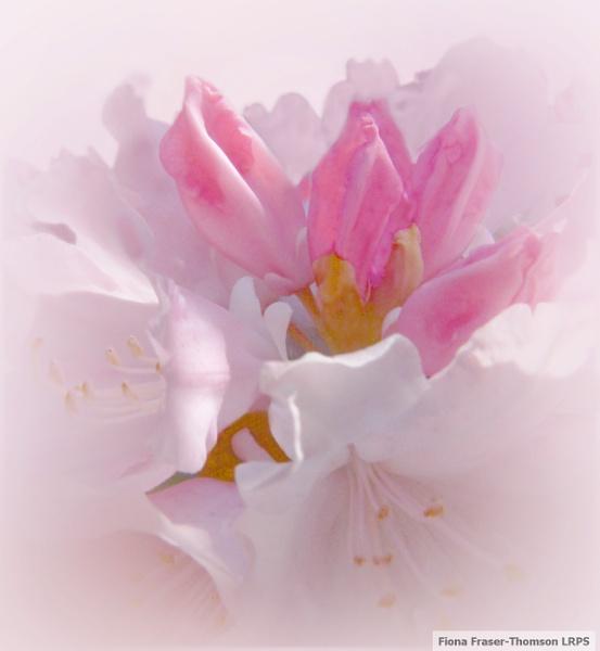 Unfolding rhododendron by zazzycat
