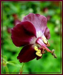 Geranium,' Black widow. '