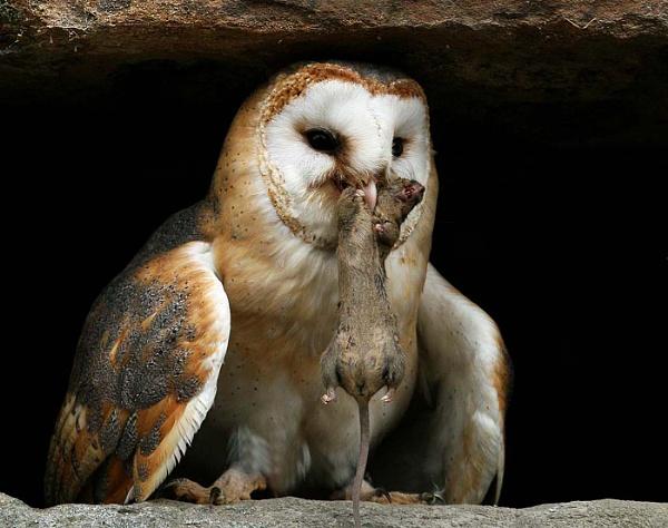 Barn Owl Lunch Time by Trevrox