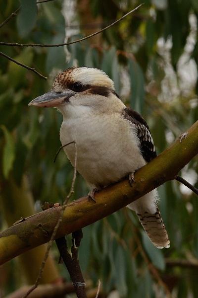 Laughing Kookaburra by jgmford