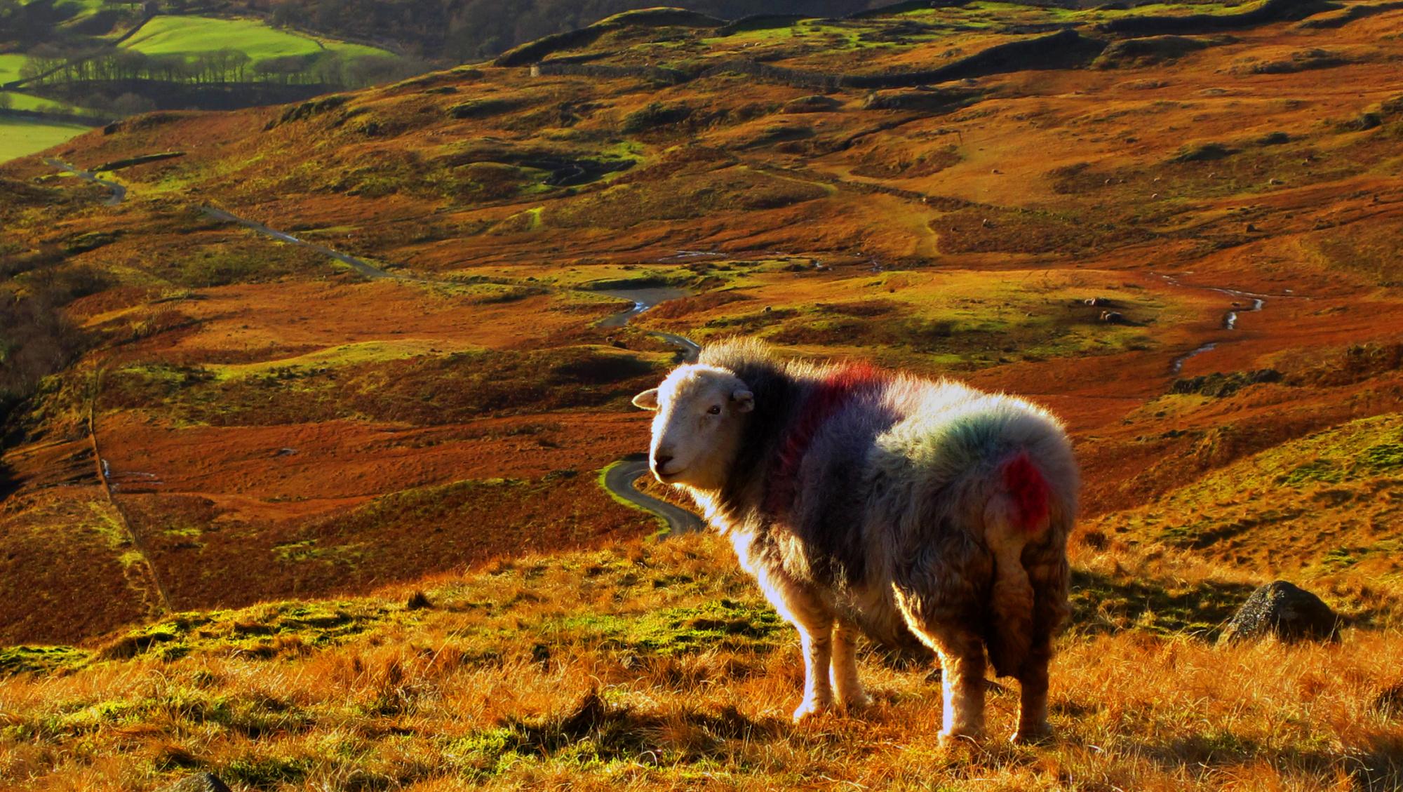 Sheep at Hardnott pass