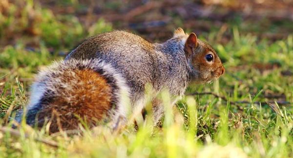 grey squirrel by fwatts