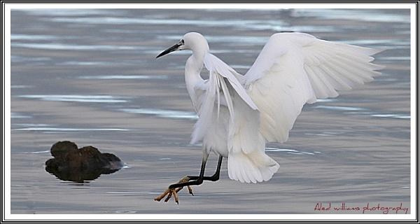 Egret... by alfie99