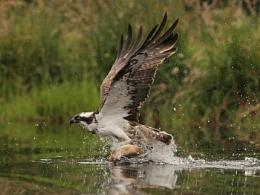 Fishing osprey in scottish loch