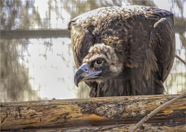Vulture by Daisymaye
