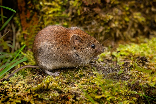 Bank Vole by mikepearce