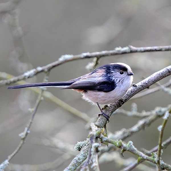 Long Tailed Tit by richmowil