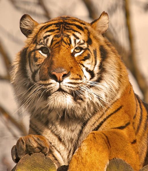 Tiger by itsme2