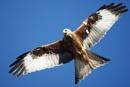 Red Kite by caromal