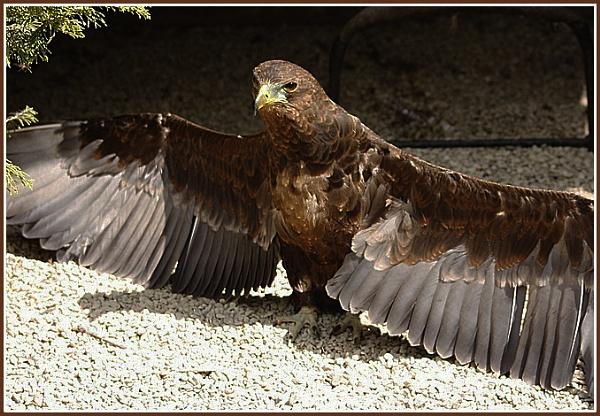 GOLDEN EAGLE by JOKEN
