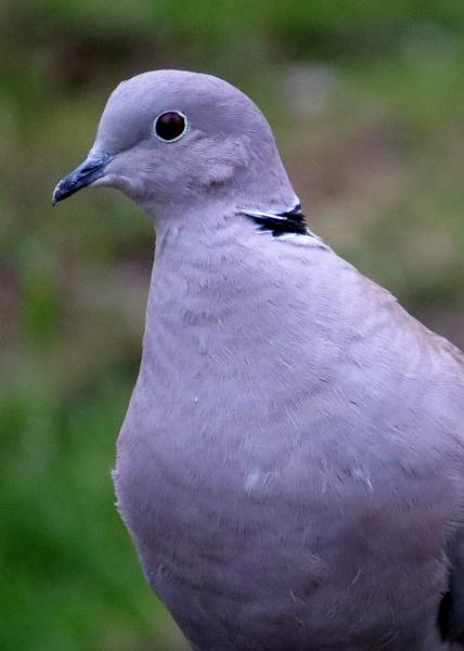 Dove by mickyr