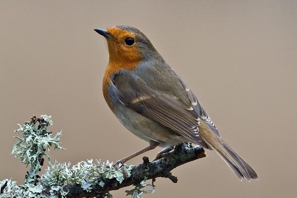 Robin by cleg