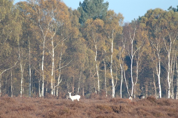 White Fallow Deer by Jacky4me