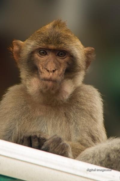 Barbary Macaque by Alan_Baseley