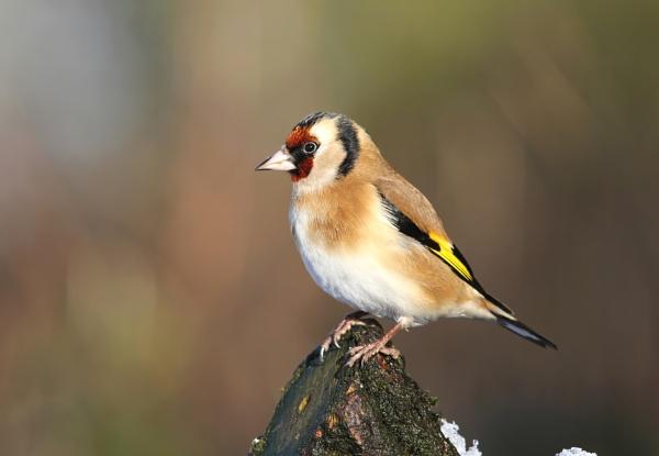 Goldfinch by jcorn3