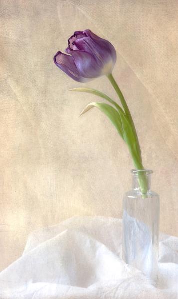 Tulip by dormay