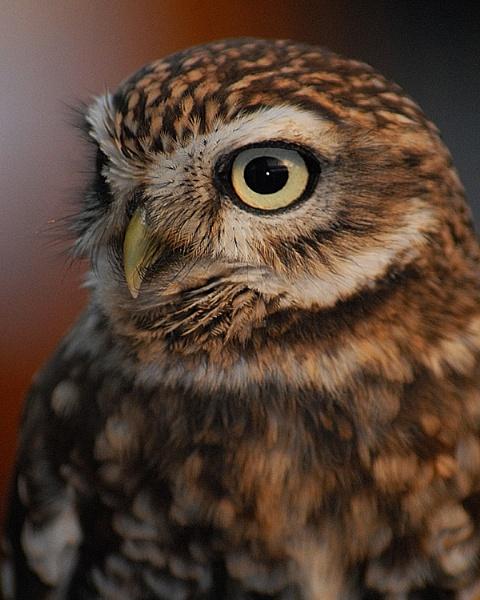 Little Owl by Sooty_1