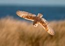 Dune Diving Barn Owl