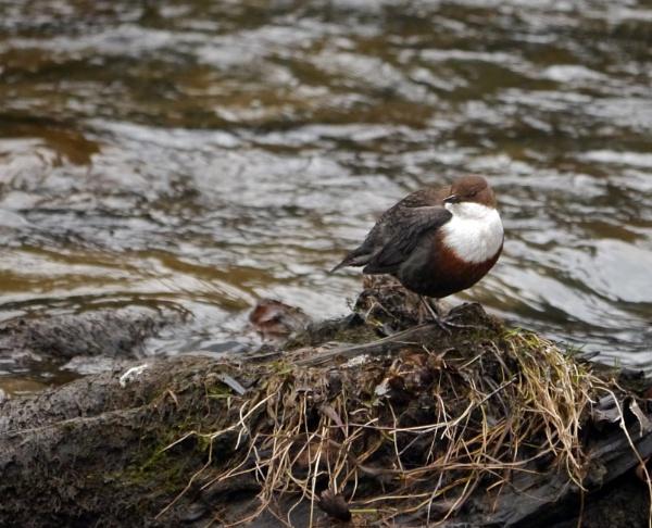 Dipper. by heron