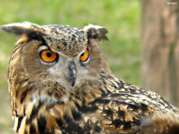 THE OWL by amlanroychowdhury