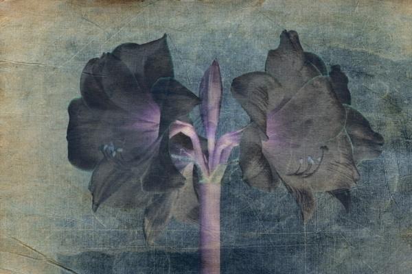 Black Amaryllis