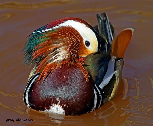 mandarin duck by GRAYCLEMENTS