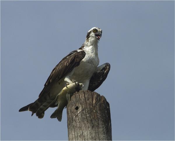 Osprey by MossyOak
