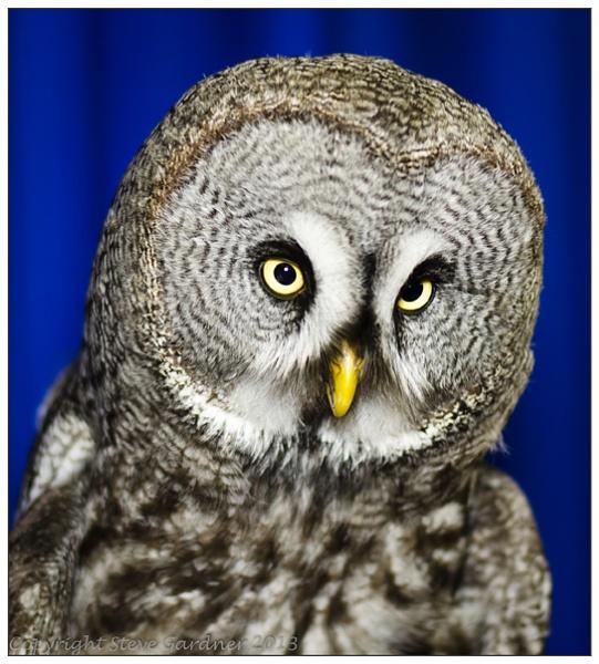 Great Grey Owl by thephotobirder