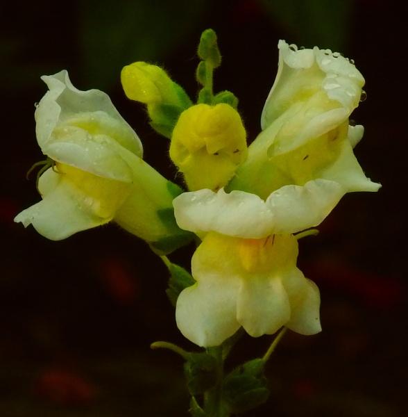 Angyal szerű virág by wacrizphoto