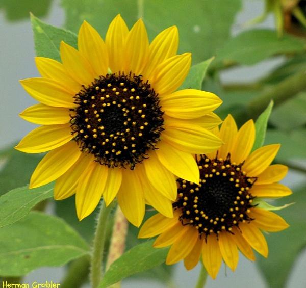 Sunflowers by Hermanus