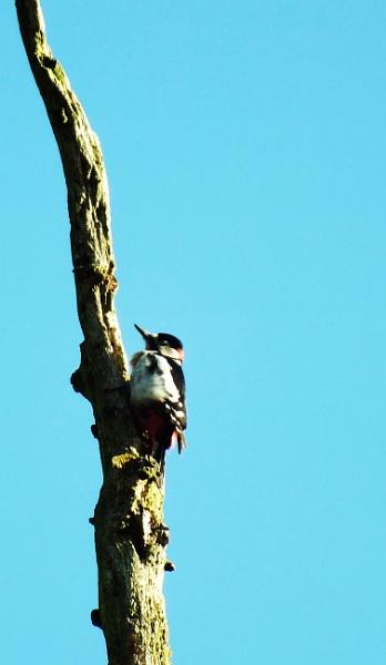 Winter Woodpecker by crissyb
