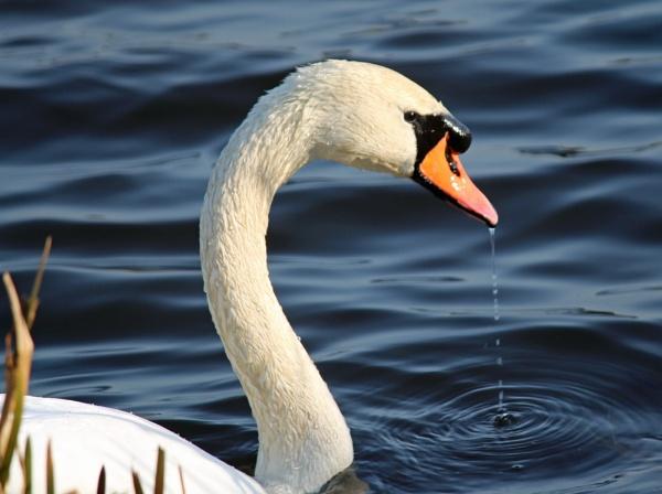 feeding swan by billspencer
