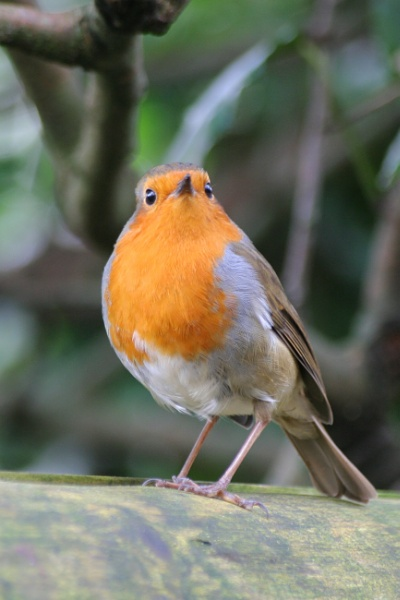 Robin Red Breast by Tigger1