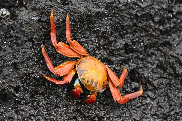 Sally Lightfoot Crab by Trekmaster01