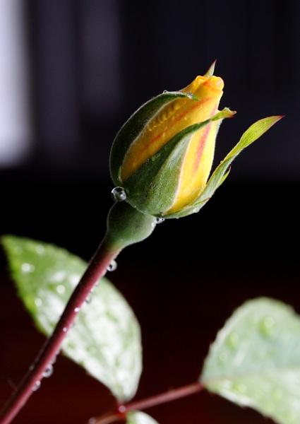 Garden rose by muonphil