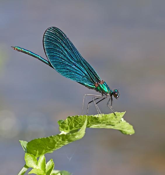 Beautiful Demoiselle by mattberry