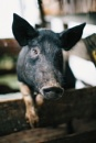 Portrait of a Pig by Nic_WA