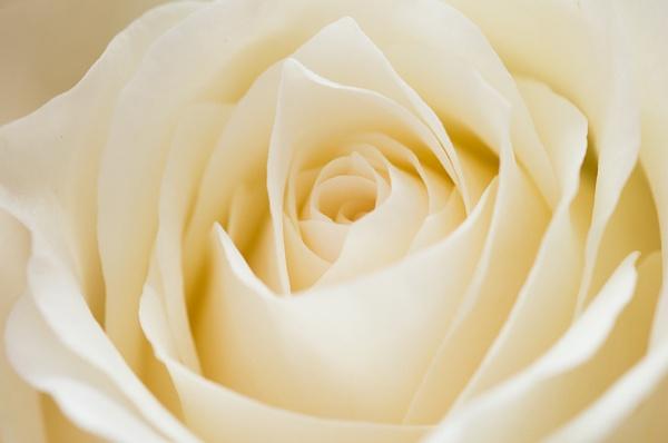Rose by StuartAt